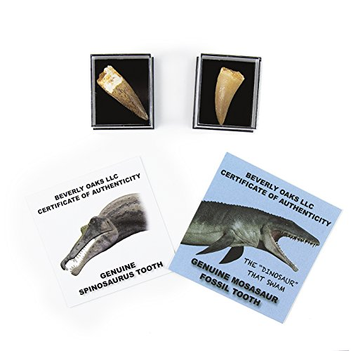 Set of 2 Authentic Dinosaur Teeth Fossils (1 Mosasaur Tooth and 1 Spinosaurus Tooth) Each in a Museum Case, with Exclusive Beverly Oaks Certificate of Authenticity