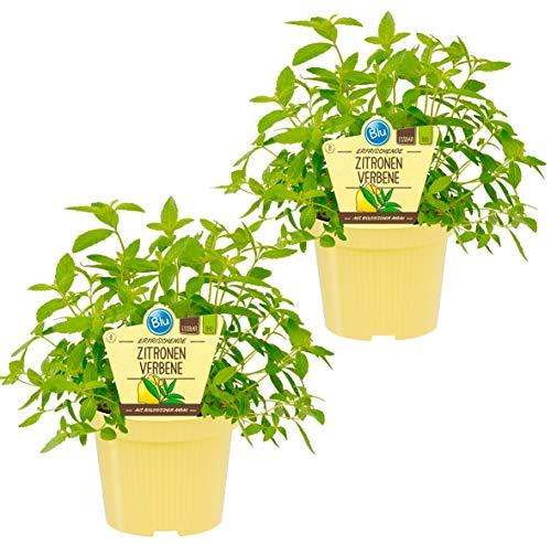 Bio Zitronenverbene (Lippia citriodora), Kräuter Pflanzen aus nachhaltigem Anbau, (2 Pflanzen im Set)