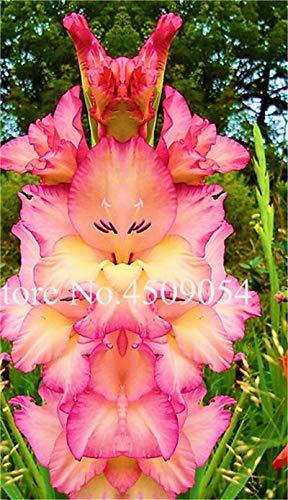 Generic Fresh 200 Pcs Gladiolus Blumensamen zum Pflanzen Mischfarbe 1