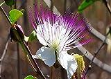 100 Semillas de Alcaparra (Capparis Spinosa)