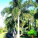 sanhoc 50 pezzi sago palm tree bonsai cycas revoluta tropical fossil facile da coltivare cycad bonsai per indoor pianta in vaso di trasporto: 3