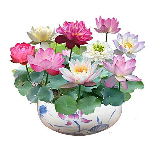 Regenbogen Lotus Blumensamen 30 Stück Bio-Seerosen Lotus Bowl Wasserpflanzen Blume Einfach zu züchten Samen für Bonsai Pflanzteich Indoor Outdoor Dekor