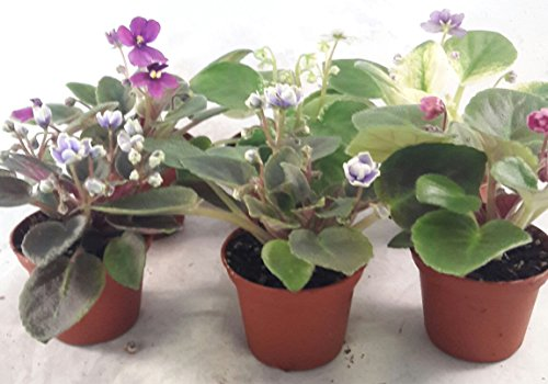 Miniature African Violet - 5 Plants/2 Pot - Great for Terrariums/Fairy Gardens unique from Jmbamboo