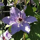 Rizomas de clemátide,Encantadores bulbos fuertes Raíz Especies raras Balcón Hogar Jardín Flores ornamentales Bonsai-15Rizomas