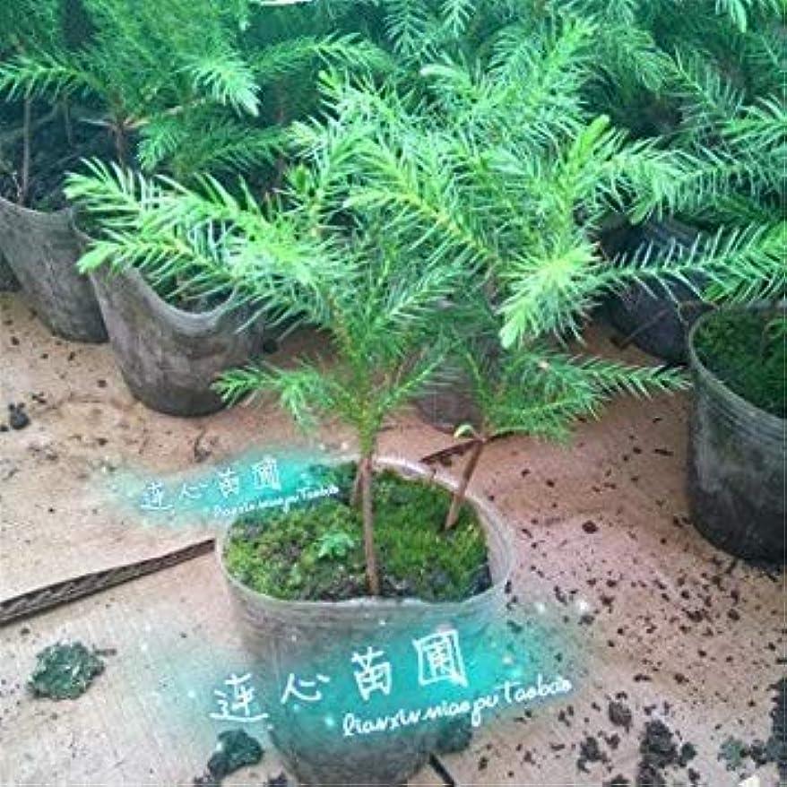 耐えられる小説ポーチSEEDSのPLAT会社-2016 50個のアローカリア種子屋外植物さわやか盆栽種子観葉植物の木の種子の49%