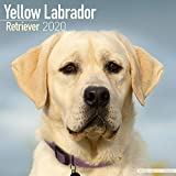 Avonside Publishing Ltd: Yellow Labrador Retriever Calendar