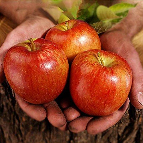 Inovey 100 Pcs/Pack Apple Tree Graines De Jardin Et De La Maison De Fruits en Pot Red Apple Seed Bonsaï Plantes