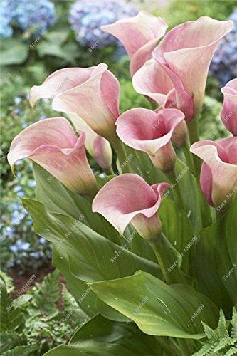 100Pcs Calla-Lilien-Samen, seltene Pflanzen Blumen, Zimmerblumen Rhizome Zantedeschia aethiopica, Bonsai Zimmerpflanzen Hausgarten Palnt 9