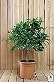 Meine Orangerie Blutorangenbaum Sanguinello Mezzo - echte Blutorange - Zitruspflanze - 70-90 cm - Blood Orange - veredelter Apfelsinenbaum in Gärtner-Qualität