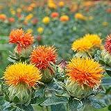 Semi di piante di cartamo 30pcs organici Carthamus tinctorius annuali freschi Premium arancione fiore selvatico Aamzing semi di erbe cinesi per piantare giardino cortile all'aperto
