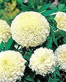 African Organic Marigold Kilimajaro Large Flowered 60 seeds – Tagetes Erecta