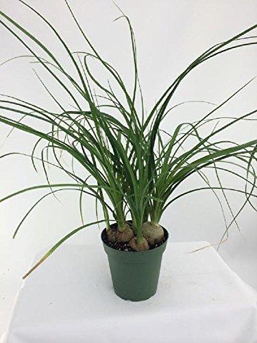 Jmbamboo -Ponytail Palm - 4' Pot - Beaucarnea - Great Indoors!