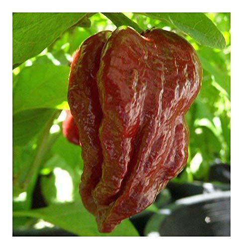 SANHOC Samen-Paket: Chili Trinidad Douglah 7- Paprika - 5 seedsSEED