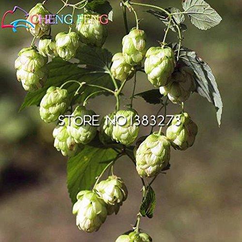 Free Ship 20 Pcs Houblon. Humulus lupulus Graines rares plantes à fleurs Bière Formulaire Rhizomes 2016 Jardin Nouveau Bonsai Semente Plantas Vente