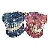 LUCKFY Modelo de los Dientes - Dientes dentales de Dientes Desmontable Modelo - Diente Prótesis de demostración Dientes del injerto Modelo para estudiar la enseñanza, 2 Piezas