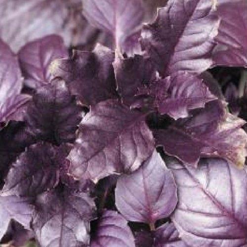 Basilic Pourpre - Ocimum basilicum - 250 Graines