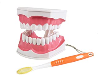 Dental Teaching Study Brushing Model with Toothbrush, Large & Removable Lower Teeth