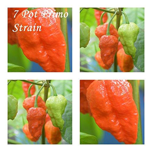 7 Pot Primo Strain -20 semillas de chile - Gravedad: 10 +++!