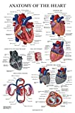 Heart Anatomy Poster - Laminated - Anatomical Chart of The Human Heart - 18' x 27'