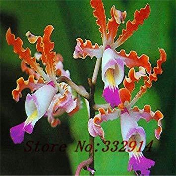 `` Hot Promotion! 100pcs / lot 10 types Graines Butterfly Orchid Graines de fleurs bricolage SeedsAndPlants Bonsai pots de fleurs jardinières