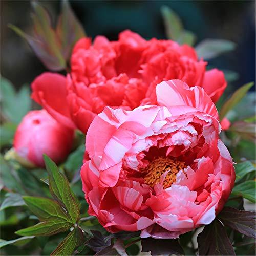 Bulbos de Peonía Flores Vale La Pena Plantar FáCil De Cultivar Suculentas Especiales Flor De Bulbo De Planta-8 Bulbos,Rojo