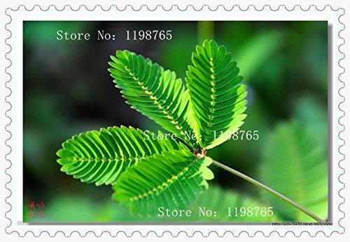 Paquet 1 100 graines herbe Bashful Graines Feuillage sensitive Sensitive