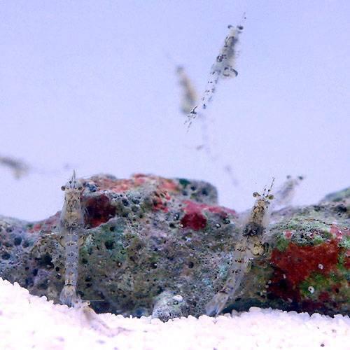 (海水魚 無脊椎)生餌 海洋性イサザアミ(3g) 本州・四国限定[生体]