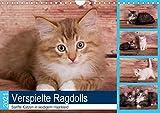 Verspielte Ragdolls - Sanfte Katzen in seidigem Haarkleid (Wandkalender 2021 DIN A4 quer)