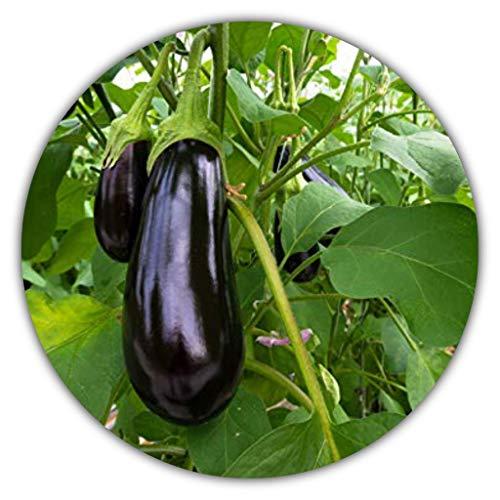 Aubergine - ca.50 Samen - Solanum melongena - guter Ertrag - Resistente Sorte