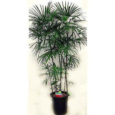 プランツネット(Plants Net) 観葉植物 棕櫚竹(シュロチク) 10号 K0100256