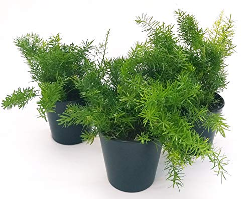ASPARAGUS 3 Pflanzen V13 Seifenstaub, echte Pflanzen