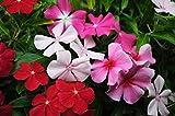 Semi Pervinca Vinca Rosea Flower Mix Balcone Perennail Garden Organic Ucraina