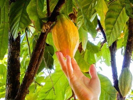 Theobroma Kakao Kakaobaum 5 Samen