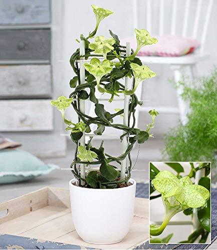 BALDUR-Garten Kletternde Leuchterblume,1 Pflanze