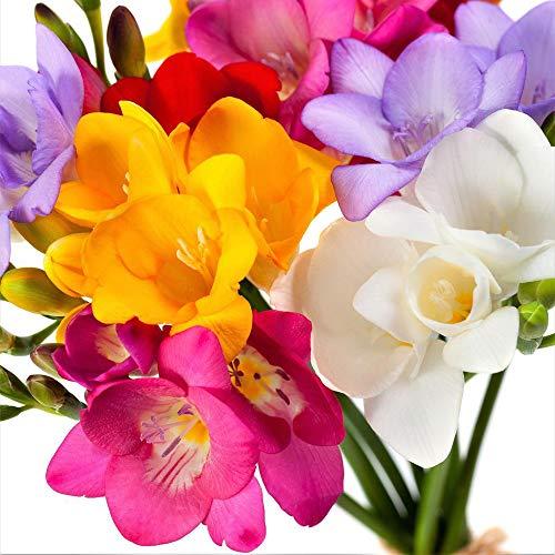 UtopiaSeeds 10 Single Mixed Freesia Bulbs - Very Fragrant Flower