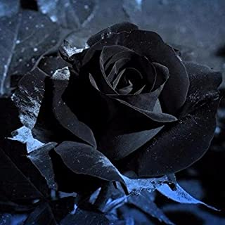 CER0T Egrow 100Pcs Black Rose Seeds Beautiful Flower Seeds Home Garden Bonsai