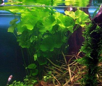 Tropica 1-2-GROW! Mini-Seerose aus Taiwan / Nymphoides sp. 'Taiwan' ('Flipper') von TROPICA