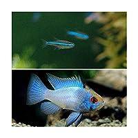 (熱帯魚)グリーンネオンテトラ(10匹) + ブルーダイヤモンド・ラミレジィ(3匹) 北海道・九州航空便要保温