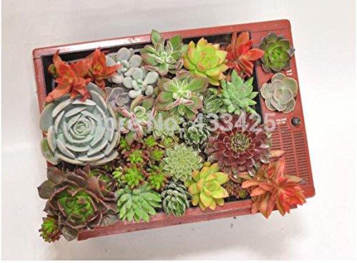 5 graines / sac Tetragonia Rose paquets de modélisation succulentes pierre brute graines de fleurs