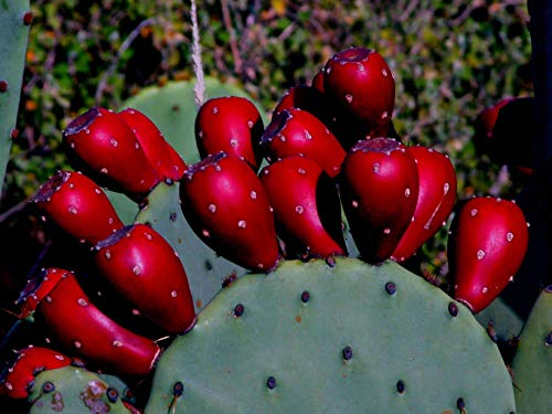 Alick 50 Red Prickly pear Cactus Plant Seeds