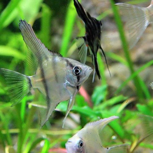 (熱帯魚)国産 ミックスエンゼル (エンゼルフィッシュ)(約3cm)<30匹>[生体]
