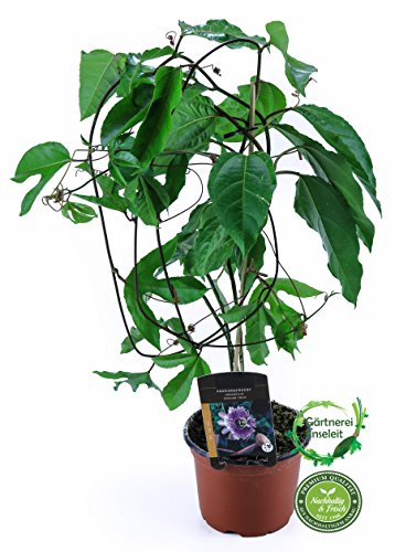 Passionsfrucht Maracuja, Pflanze aus Nachhaltigem Anbau!