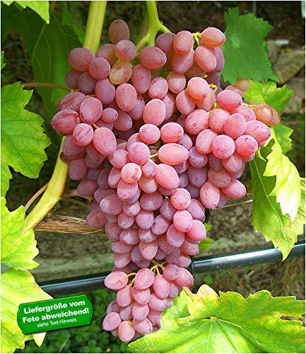 BALDUR Garten Kernlose Tafeltraube Kischmisch rosé, 1 Pflanze, Weinreben, Vitis vinifera Weintrauben