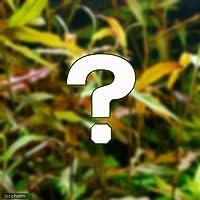 (水草)おまかせポリゴナム(水上葉) 2種×5本セット(無農薬)(計10本)