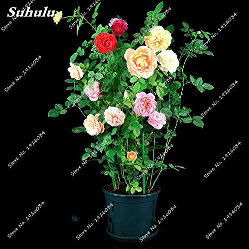 Couleur Graine Rose Bonsai importation d'Afrique Rosas Fleurs vivaces multi intérieur semences jardin Blooming plantes croissance naturelle 50PCS 3