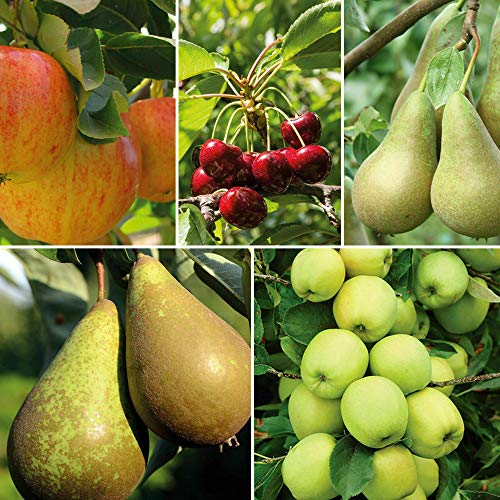 Potted Mini Fruit Tree Collection, Apple, Pear, Plum, Cherry Ideal for Small Gardens & Patios, Heavy Cropping, Easy to Grow, 5 x Dwarf Fruit Tree Collection Plants in 9cm Pots by Thompson & Morgan