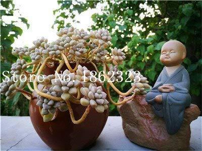 Bloom Green Co. 500 semillas Raras de Mezcla Lithops Semillas de Piedras Vivas Cactus Suculento A Granel de Jardín Orgánico, Semillas de Bonsai para Plantas Suculentas de Interior: 21