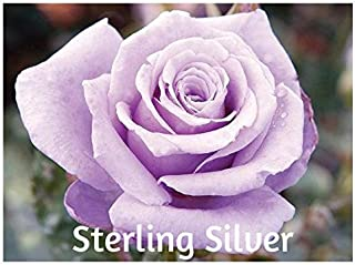 10 Sterling Silver Hybrid Tea Rose Seeds