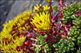 Sedum Oregon 70 Samen, Fetthenne, Mauerpfeffer, 3 Farben auf 1 Pflanze