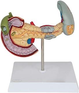 Water cup 医療モデル脾臓膵臓および十二指腸病理学モデル肝膵臓十二指腸疾患モデルは医療教育に適しています